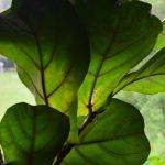 Die großen Blätter der Geigenfeige schlucken den Lärm