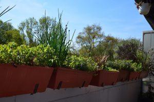 Balkonkästen im Frühling, umrahmt von der Gundelrebe