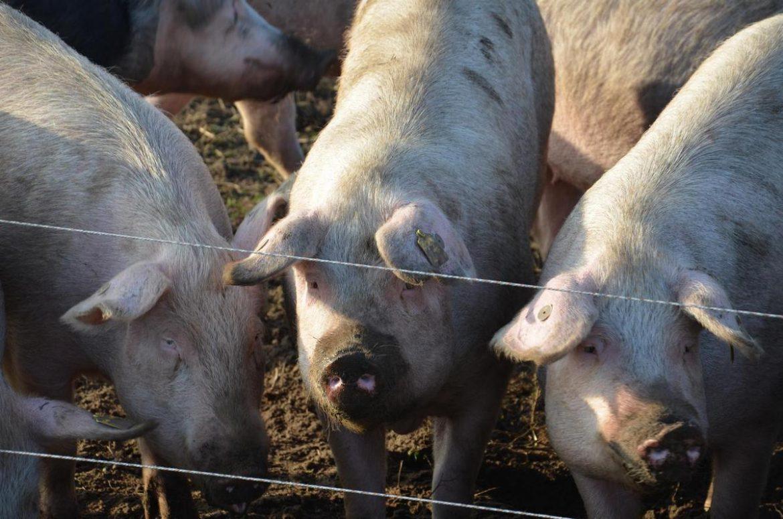 Schweine für den Fleischkonsum