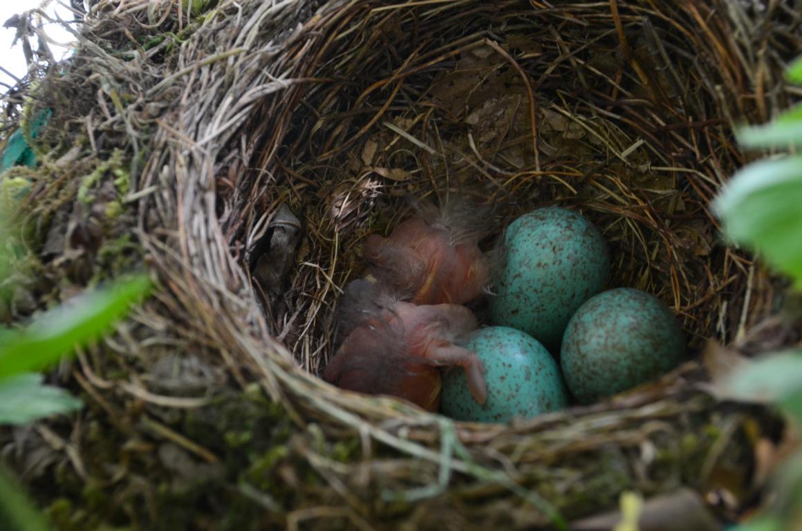Amseln Bruten Auf Dem Balkon Vom Ei Bis Zum Jungvogel Steppenrose